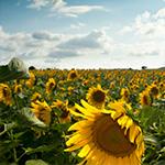sunflowersize